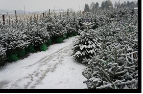 Meer dan 1000 echte kerstbomen